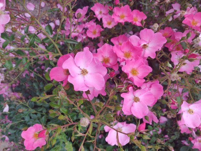 Aufnahme von rosa Blumen